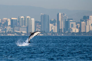 San Diego, downtown, skyline, Pacific ocean, California, common dolphins, dolphin photography, wildlife, wild dolphins