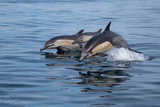 Oceanside, Pacific ocean, California, common dolphins, dolphin photography, wildlife, wild dolphins, calf