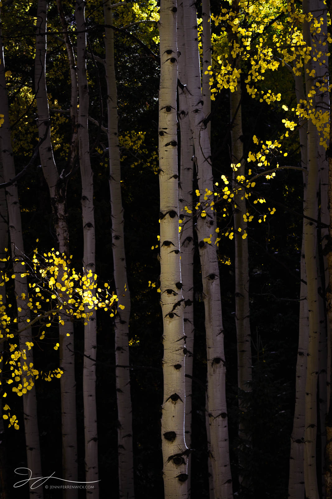 """Golden aspen leaves appear to """"dance"""" around the trunks of aspen trees in this small scene from Colorado during the fall."""