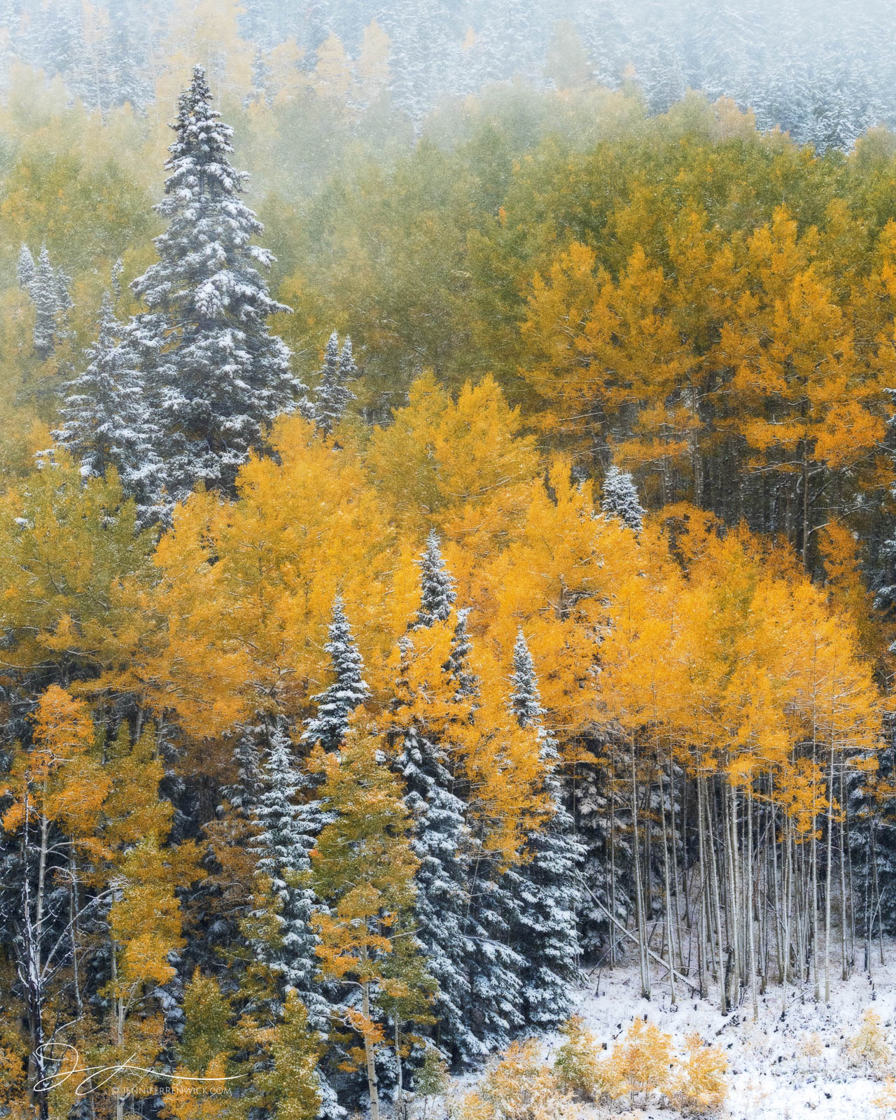 An early season snow falls on the changing aspen trees, creating a magical autumn scene.