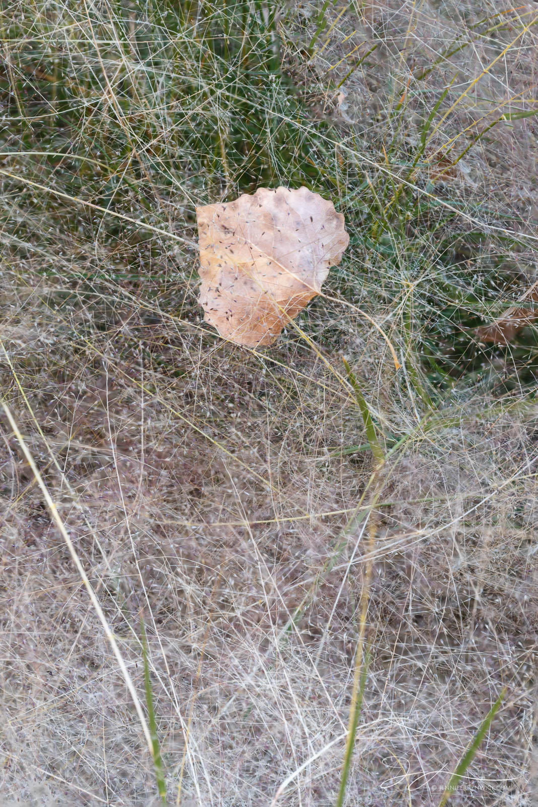 A cottonwood leaf comes to rest on a bed of grasses.