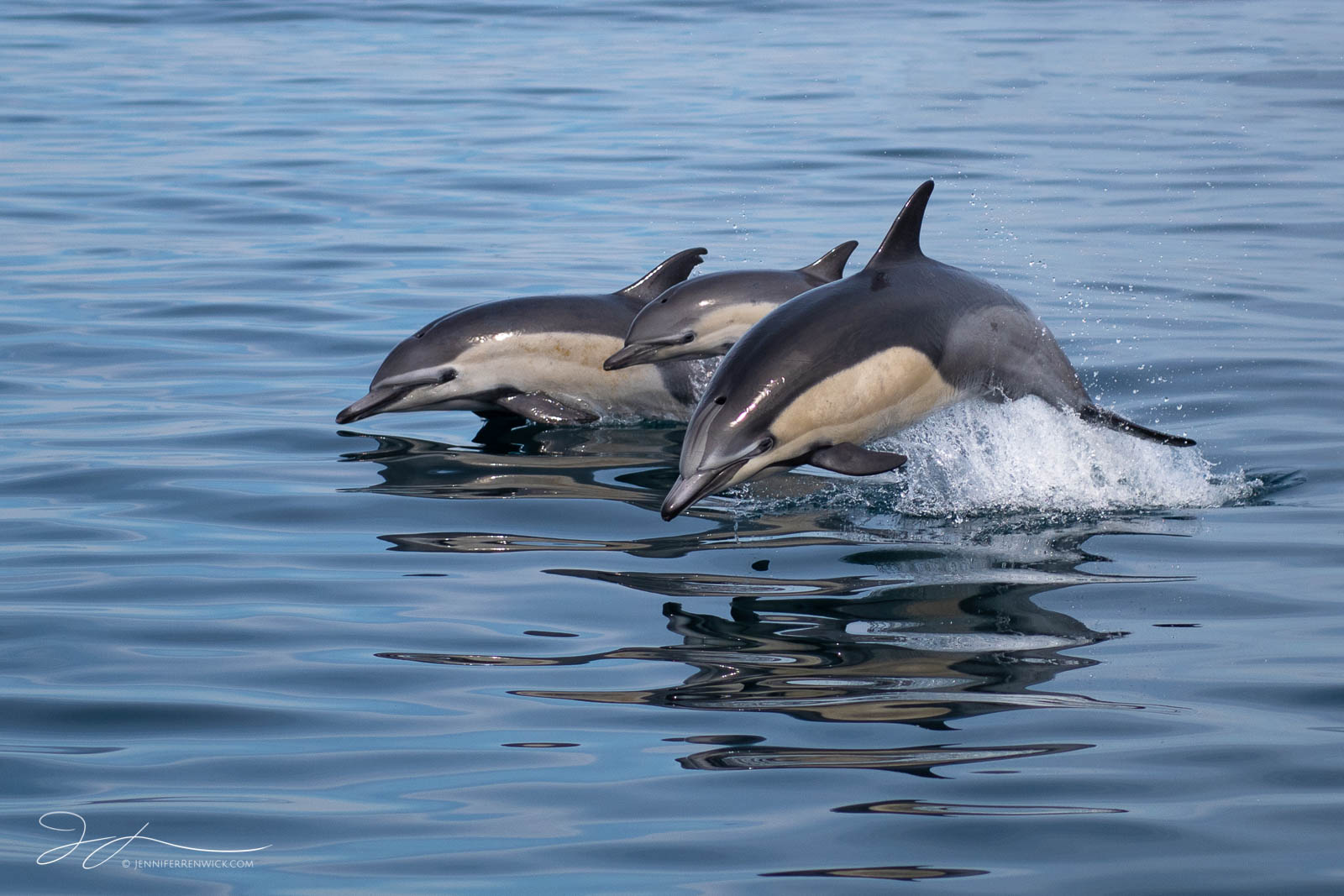 Two adult common dolphins surface with a calf in between.