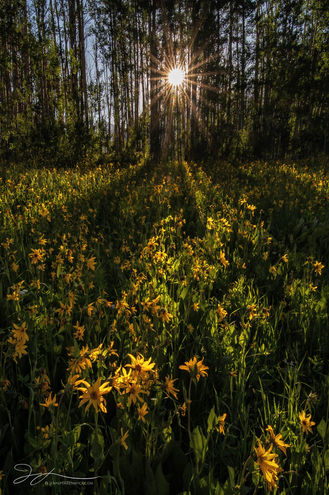 Mule's Ears sunflowers greet the sunrise through the trees in a mountain meadow.
