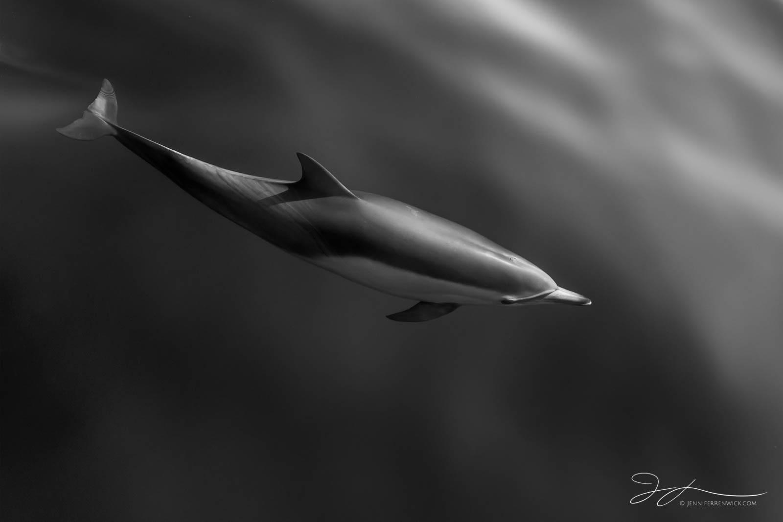 Laguna Beach, black and white dolphin photography, black and white, California, common dolphins, dolphin photography,  wildlife, wild dolphins, monochrome, pod, Pacific Ocean, photo