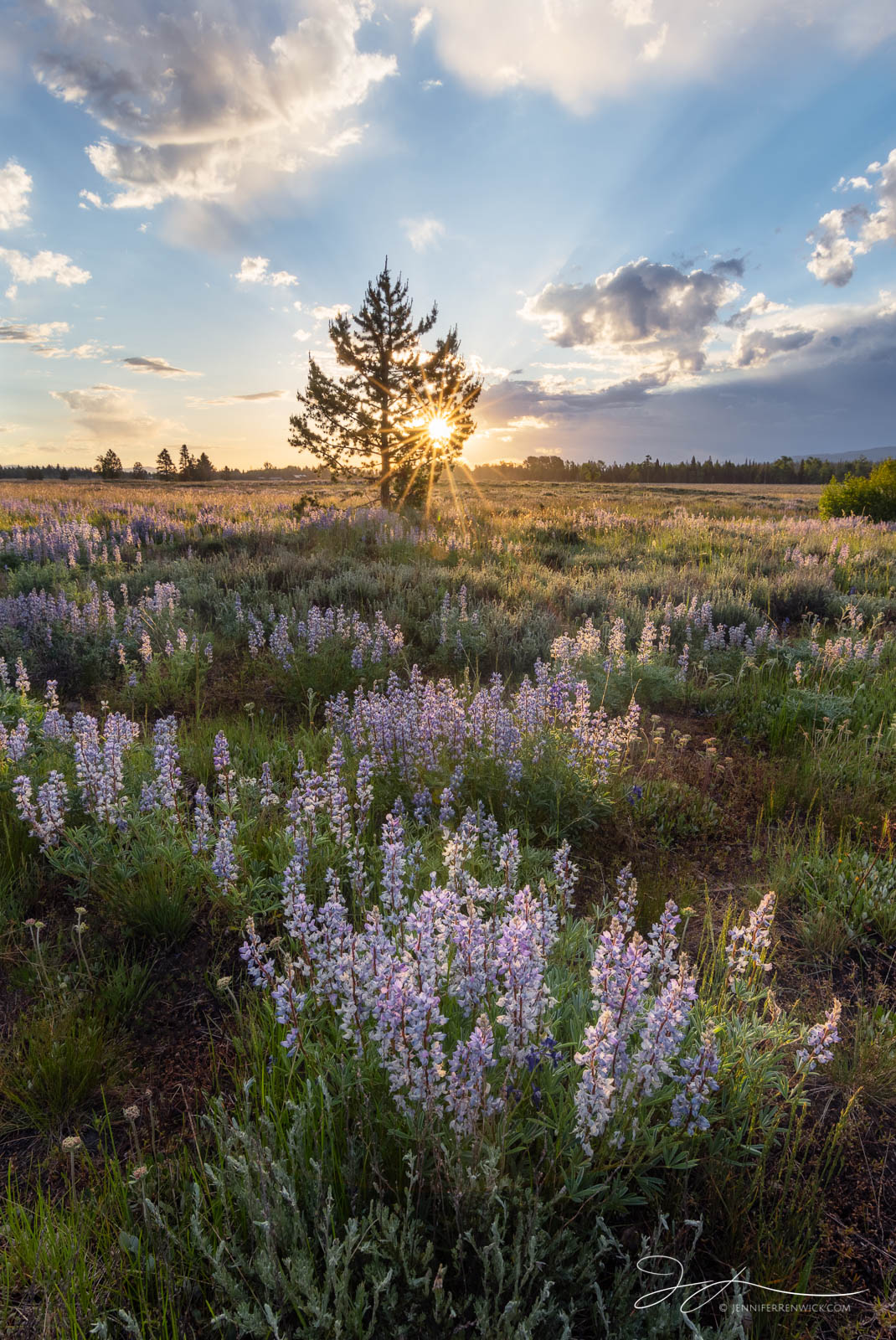 Grand Teton National Park, Wyoming, wildflowers, lupine, sunrise, sunburst, meadow, morning, lupine meadow, landscape, flowers, photo
