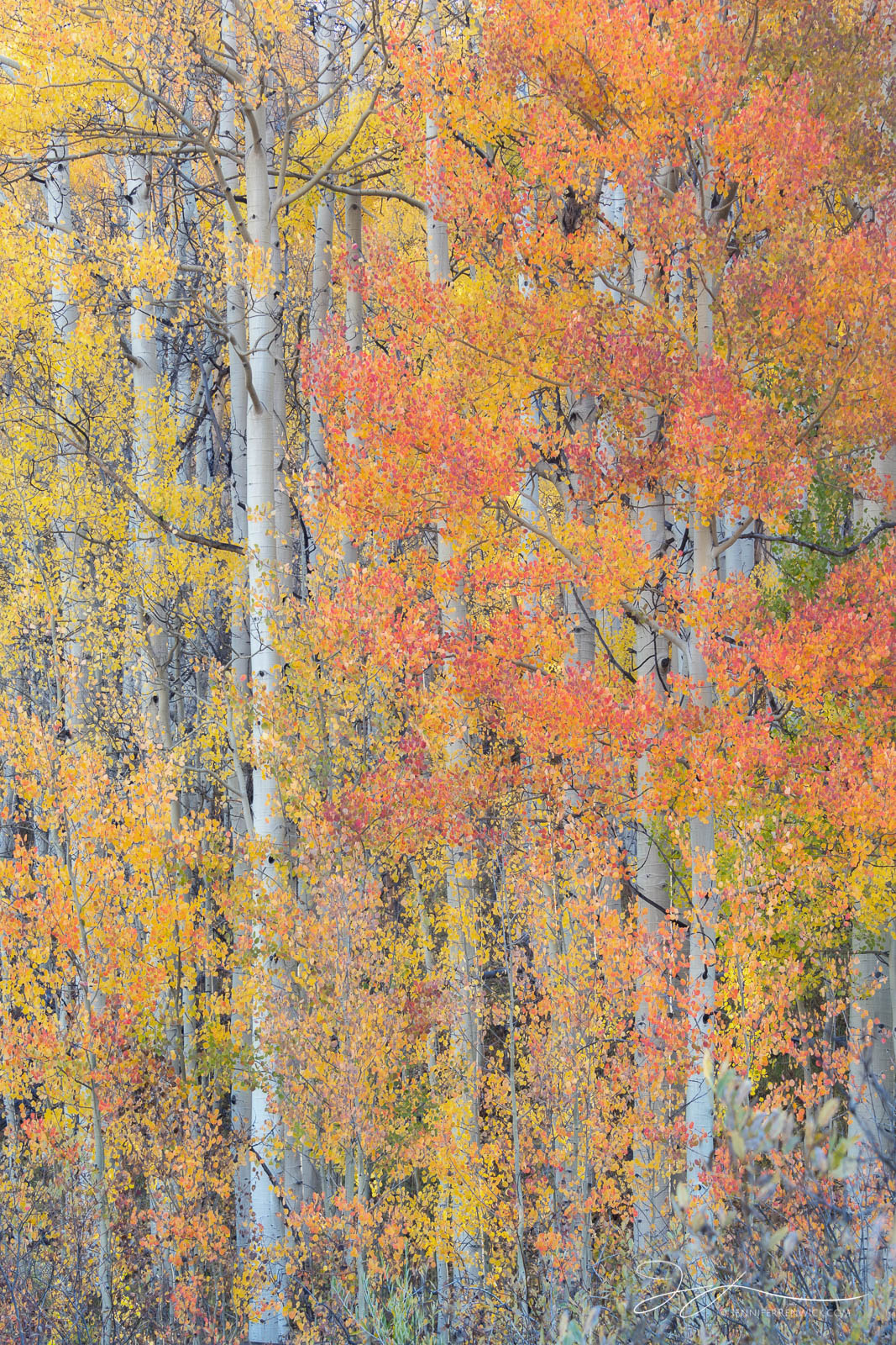 A stand of orange aspens glows in the early morning light.