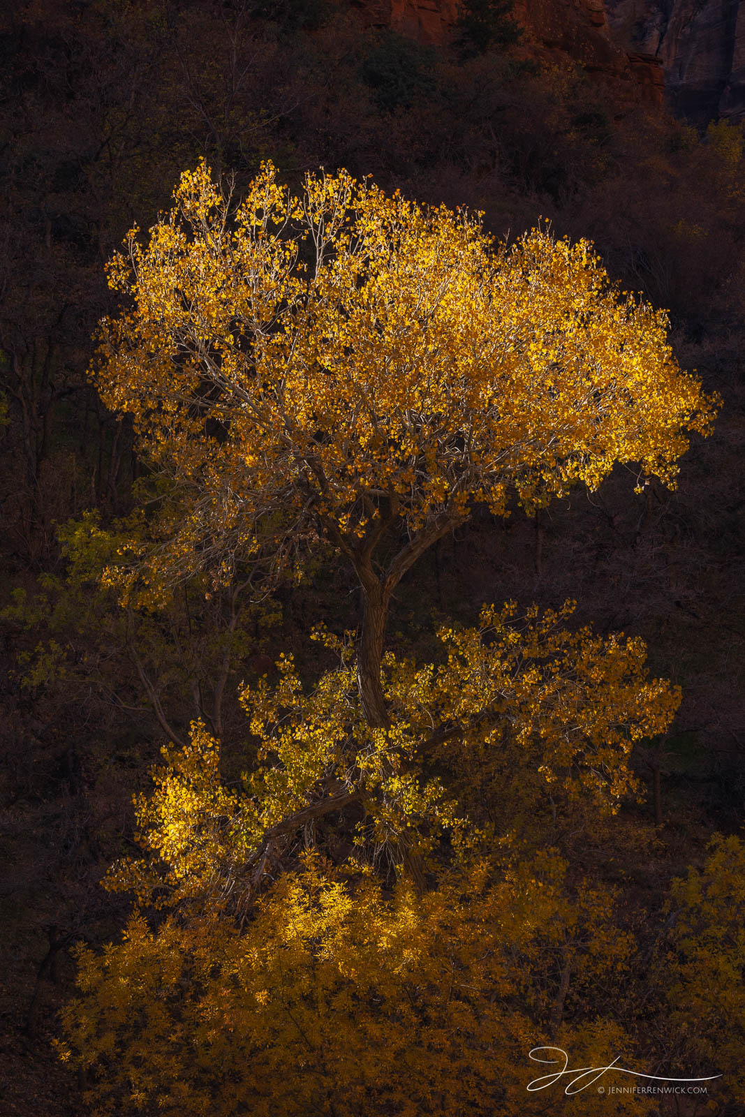 A cottonwood tree in Zion Canyon catches the last light of day on its crown.
