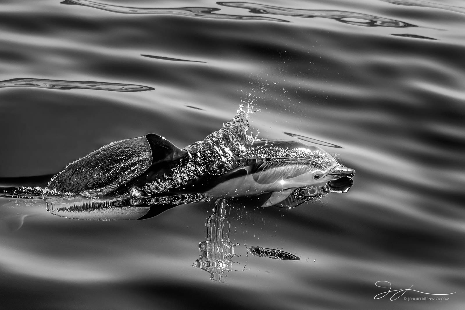 A young common dolphin calf surfaces in a splash of water.