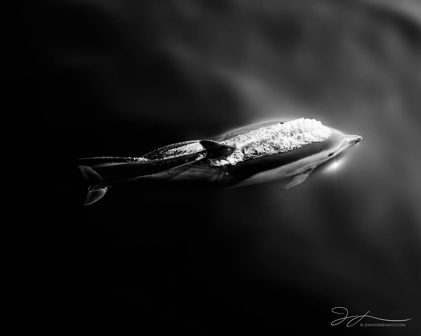 A young common dolphin calf swims effortlessly through calm seas.