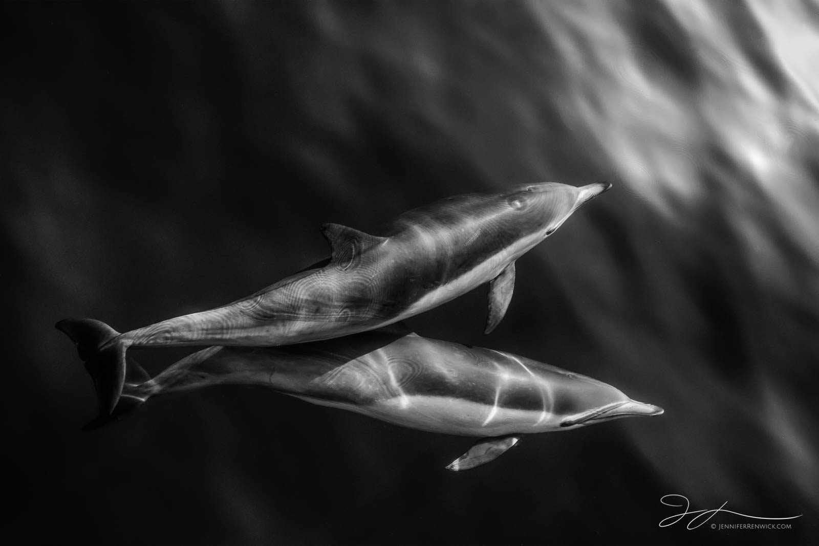 Dana point, black and white dolphin photography, black and white, California, common dolphins, dolphin photography,  wildlife, wild dolphins, monochrome, pod, Pacific Ocean, photo