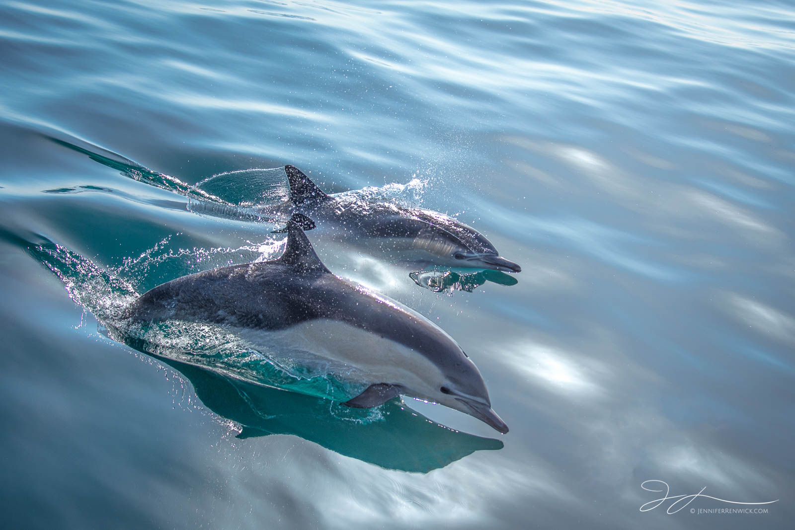 Dana point, La Jolla, Laguna beach, Pacific ocean, California, common dolphins, dolphin photography, wildlife, wild dolphins, photo